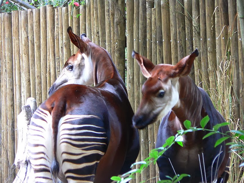 Two okapis at Disney's Animal Kingdom