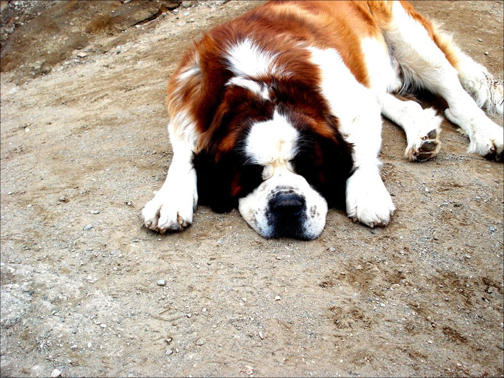Saint Bernard Dog HD Wallpapers, Saint Bernard Dogs Full