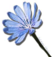 Fiore di Cicoria Selvatica - Foto di Celidonia Studio - Daniela Messina