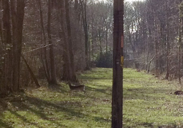 Roe deer crossing the path in Newyears Wood. 25 February 2012.