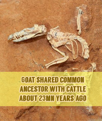 Goat shared common ancestor with cattle about 23mn years ago