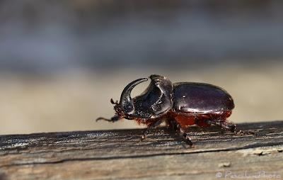 Scarabée rhinocéros (Oryctes nasicornis), European rhinoceros beetle