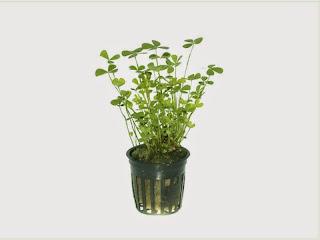 gambar-Marsilea-Hirsuta-tanaman-stem-aquascape