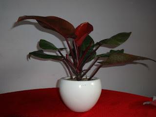 Các loại cây phong thủy trong nhà - Cây trầu bà đế vương đỏ
