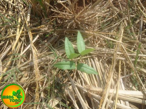 Cara menanam kacang Hijau di sawah bekas tanaman padi ( Bagian 2 )