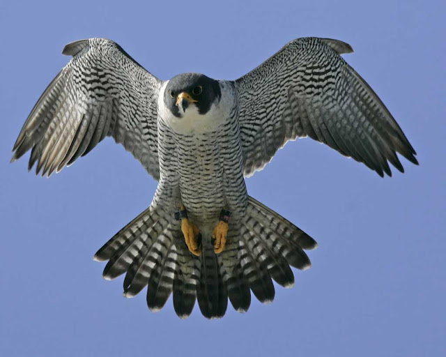 peregrine-falcon-doug-wechsler