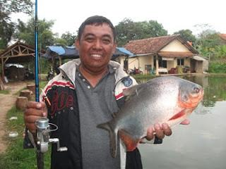 Ikan Bawal Si Rakus Dari Amazon