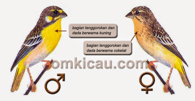 Foto Burung Blackthroat Jantan