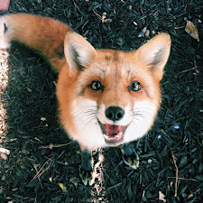 The Copper Fox