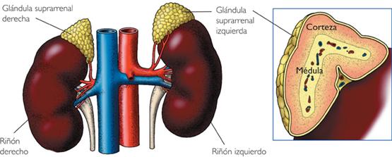 Corteza suprarrenal – Corticoides
