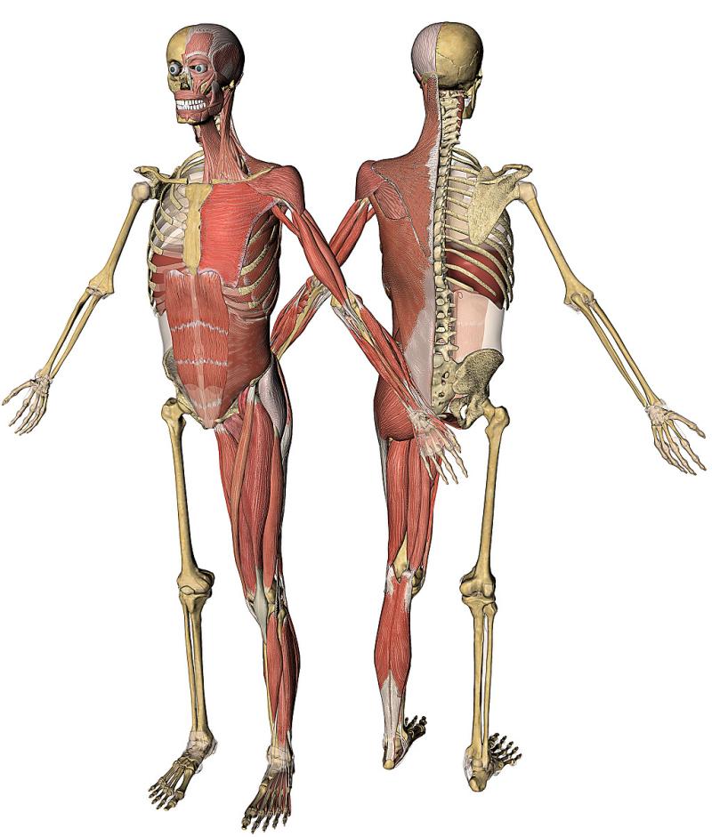 Kinesiologia de la Danza: EL PORQUÉ DE NUESTRO ESQUELETO