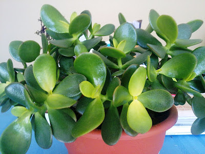 jade plant, yellow leaves