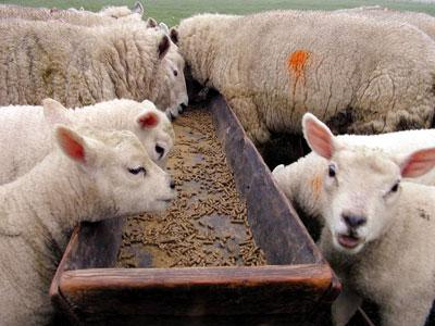 Ganadería ovina (Ovejas) - Ganado ovino
