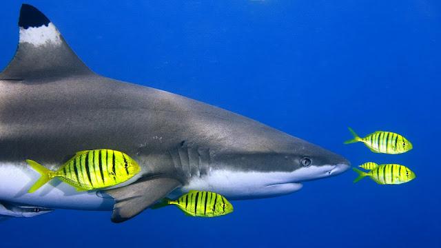 Foto van een haai in de blauwe zee tussen gele vissen