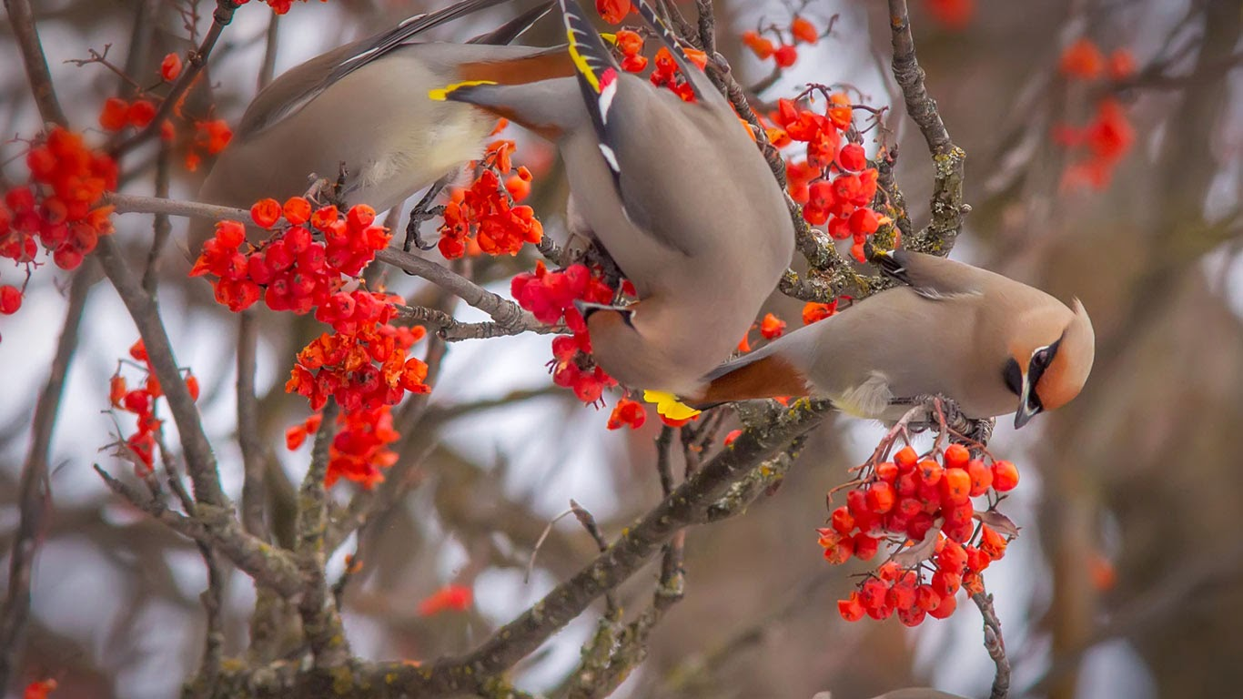 Bohemian waxwings eating rowan berries, Whitefish, Montana (© Chuck Haney/Alamy) 282