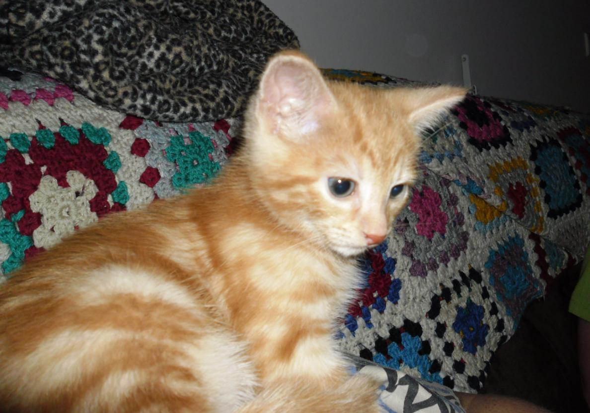 Found Ginger Kitten Cat Reddish