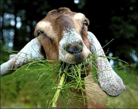 http://52englishfreaks.blogspot.com/2014/03/why-goat-eats-grass.html
