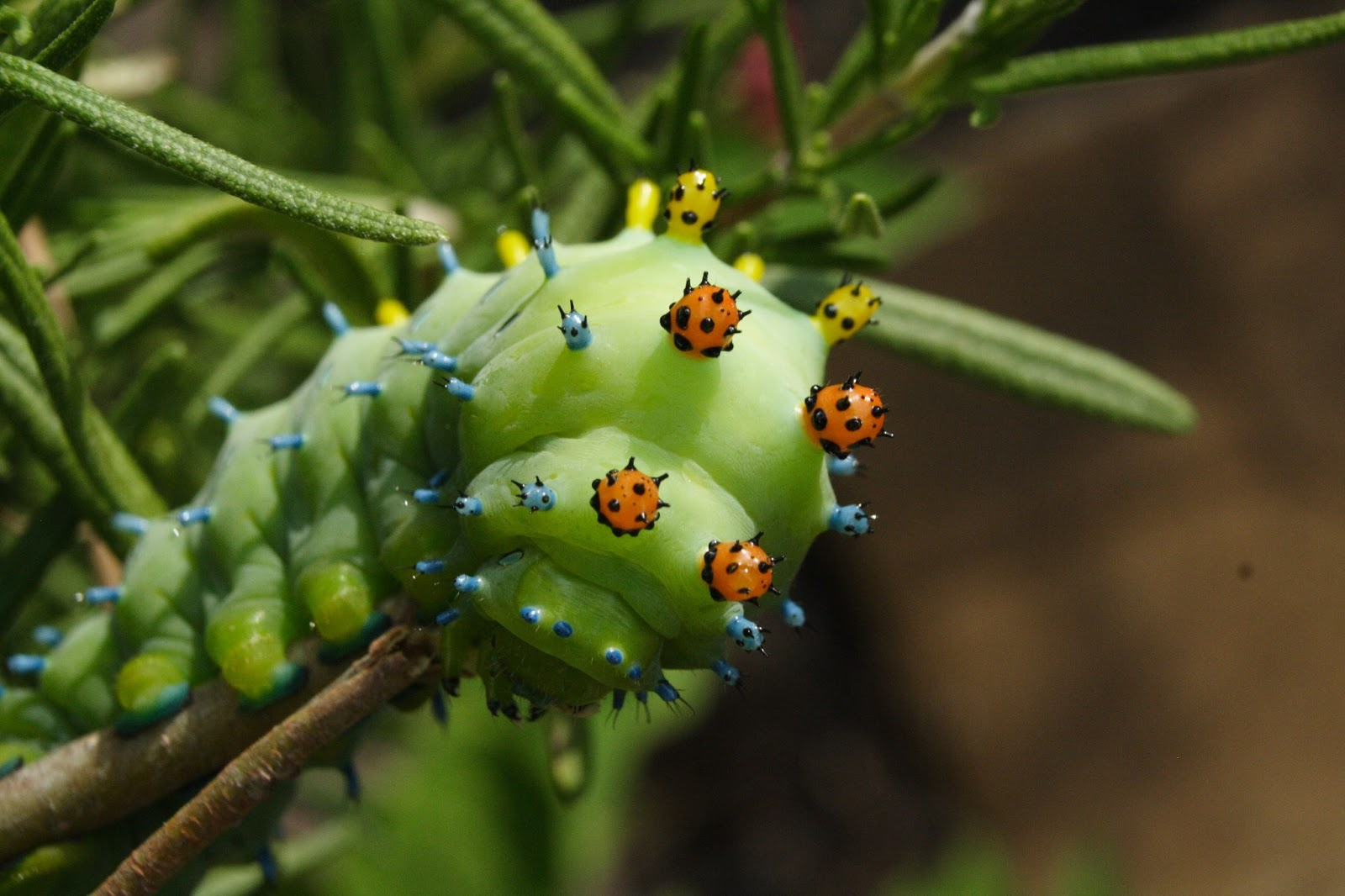 ... County (PA) Master Gardeners: What is THAT? Cecropia Moth Caterpillar