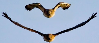 Halcones volando