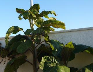 plantar un tamarillo
