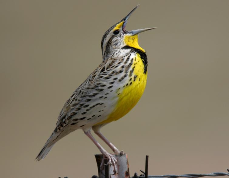 western meadowlark birds world