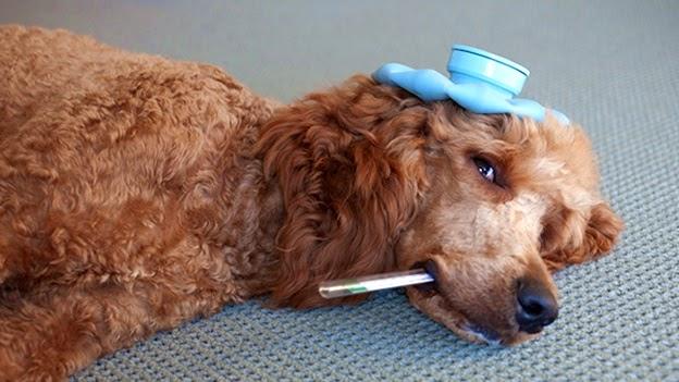 sick dog enfermo termometro calentura perro veterinario vet