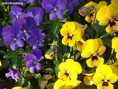 Viveiro recanto das flores flores outono inverno 2015 for Viola cornuta inverno