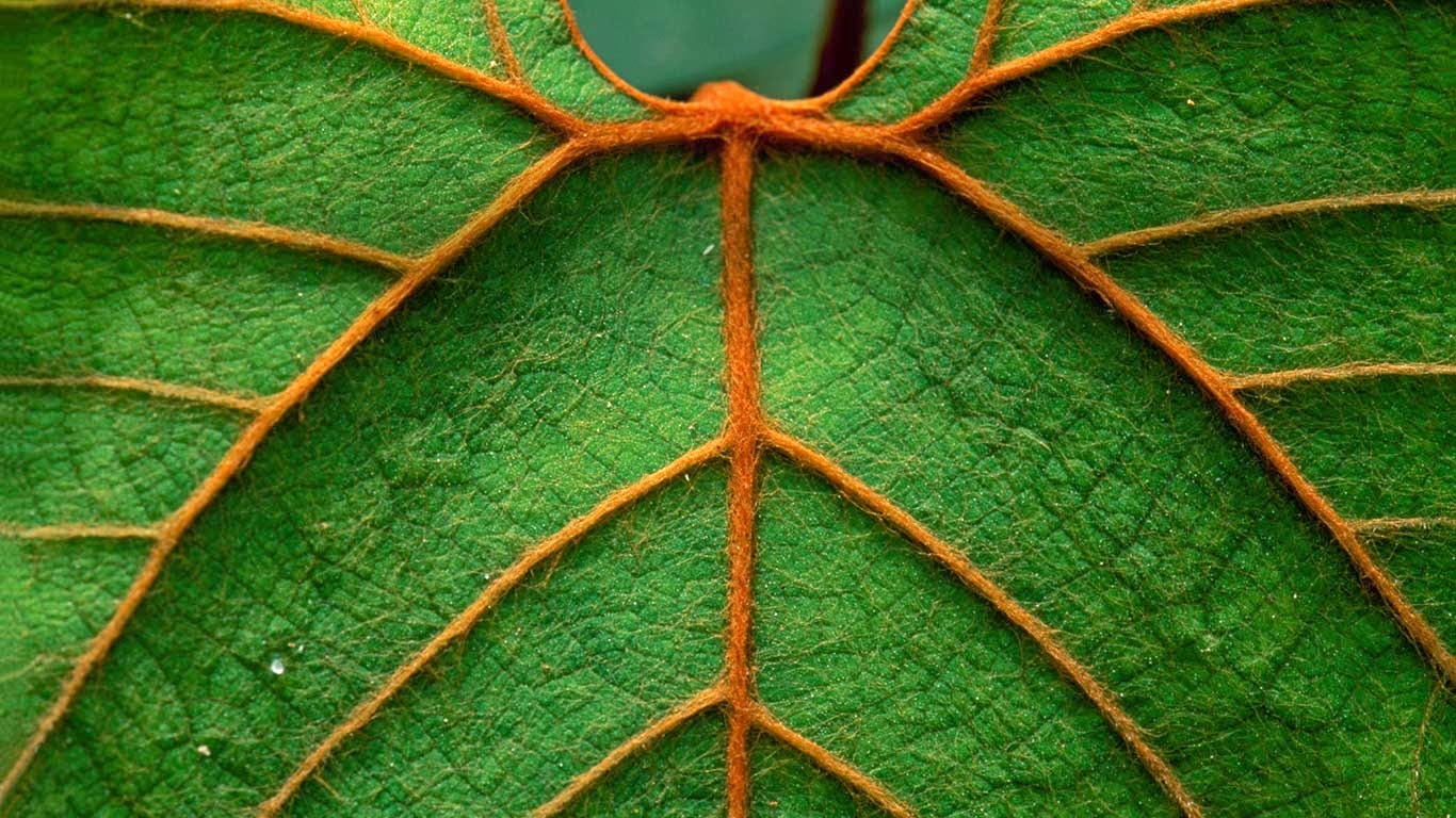 Detail of a leaf in Niah National Park in Sarawak, Borneo, Malaysia (© Thomas Marent/Minden Pictures) 275