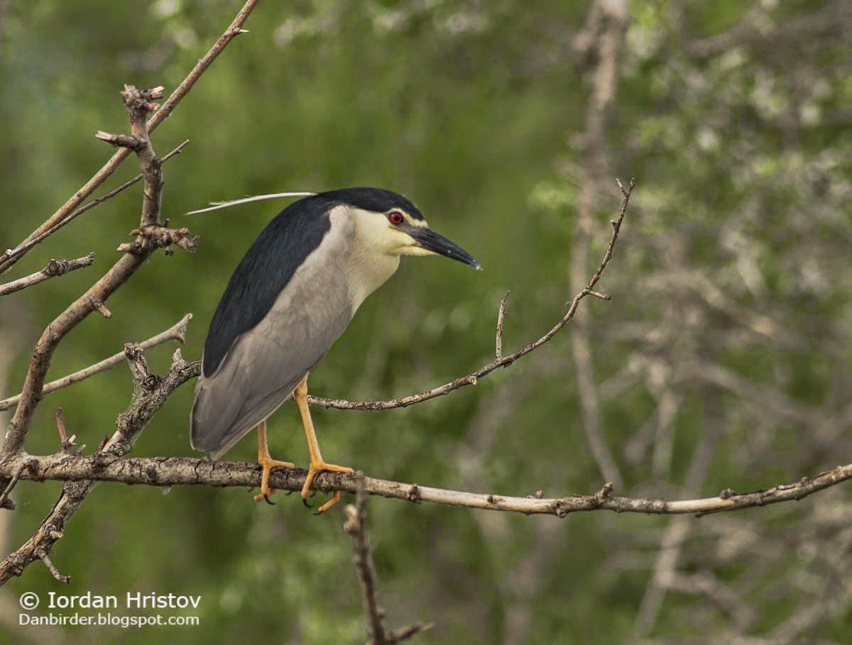 Night Heron, Copyright Iordan Hristov