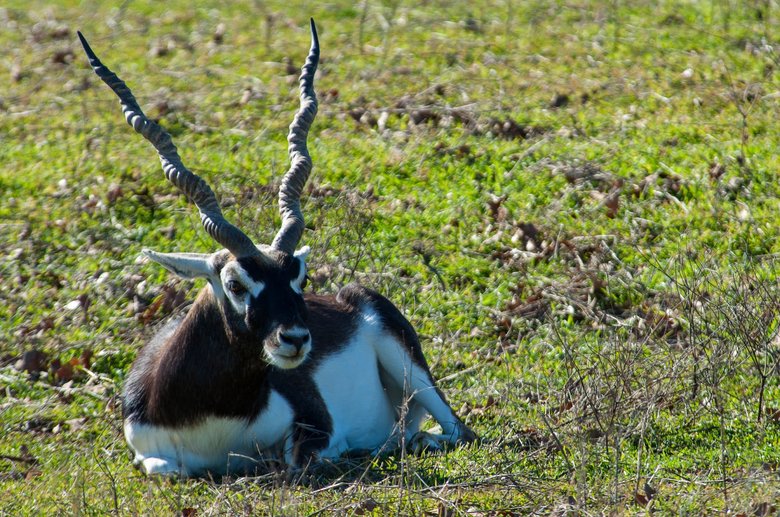 Blackbuck, Fossil Rim Wildlife Center