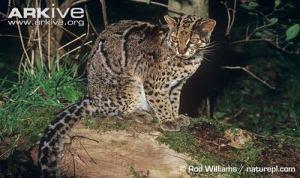gambar kucing batu