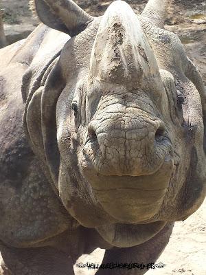 Rhinocéros qui est monté sur un rocher avec ses deux pattes avant proche de nous on dirait qu'il nous sourit à Touroparc
