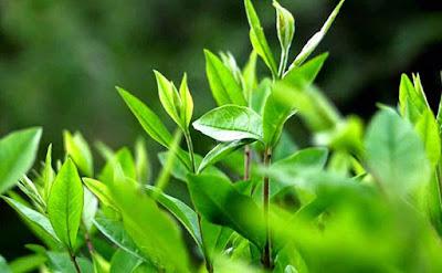 Cách chữa hôi nách từ 4 loại lá quen thuộc
