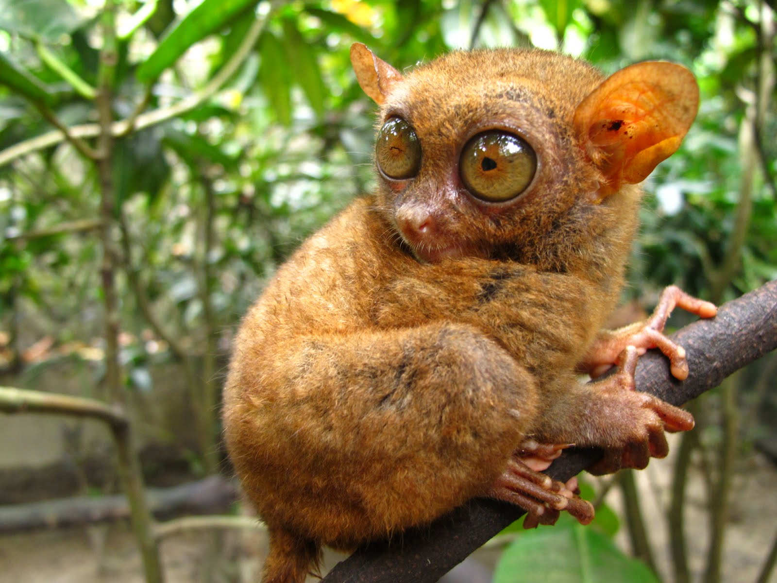 New species of tarsier discovered in Dinagat Island