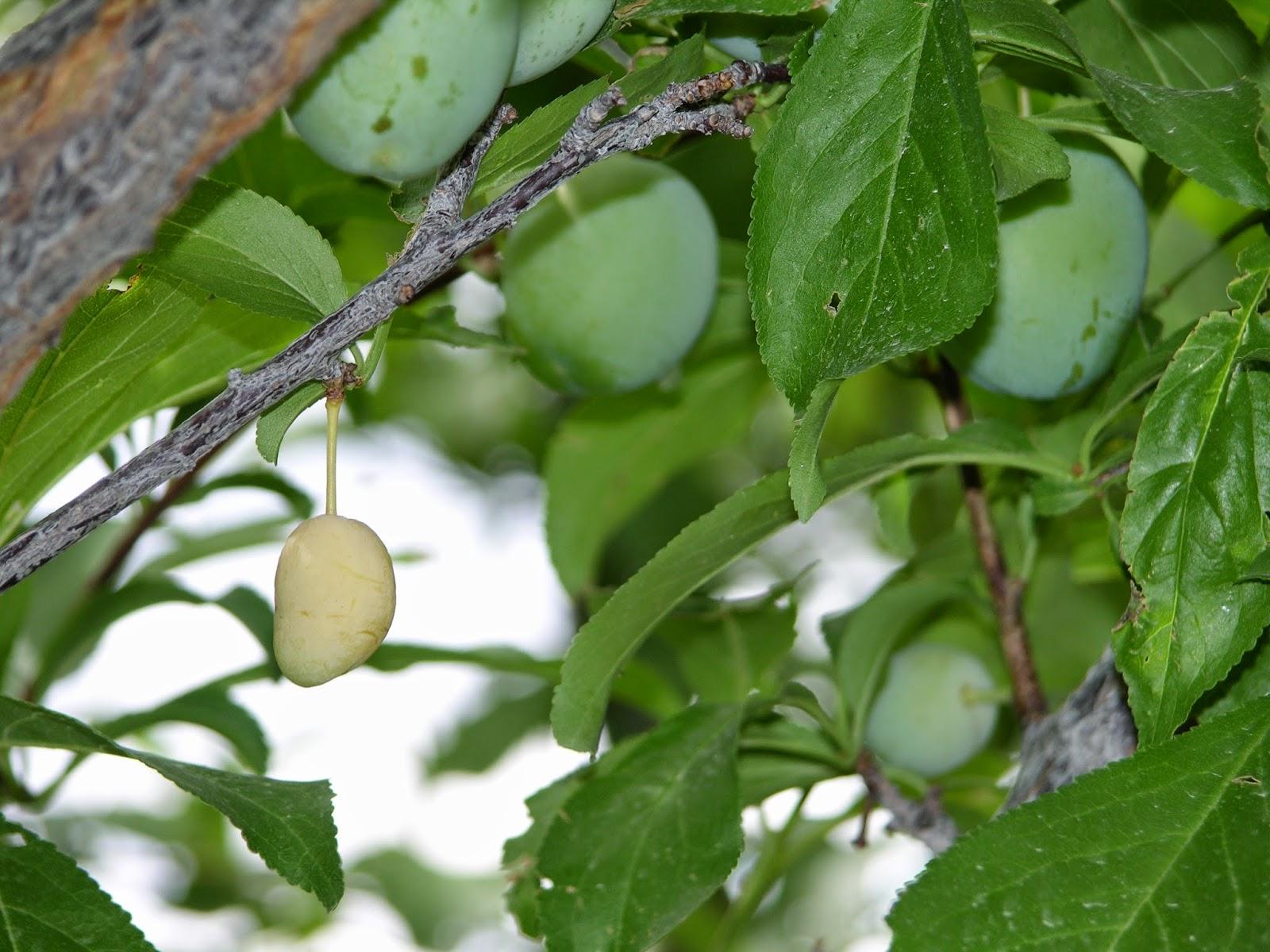 plum fruit healthy fruit desert