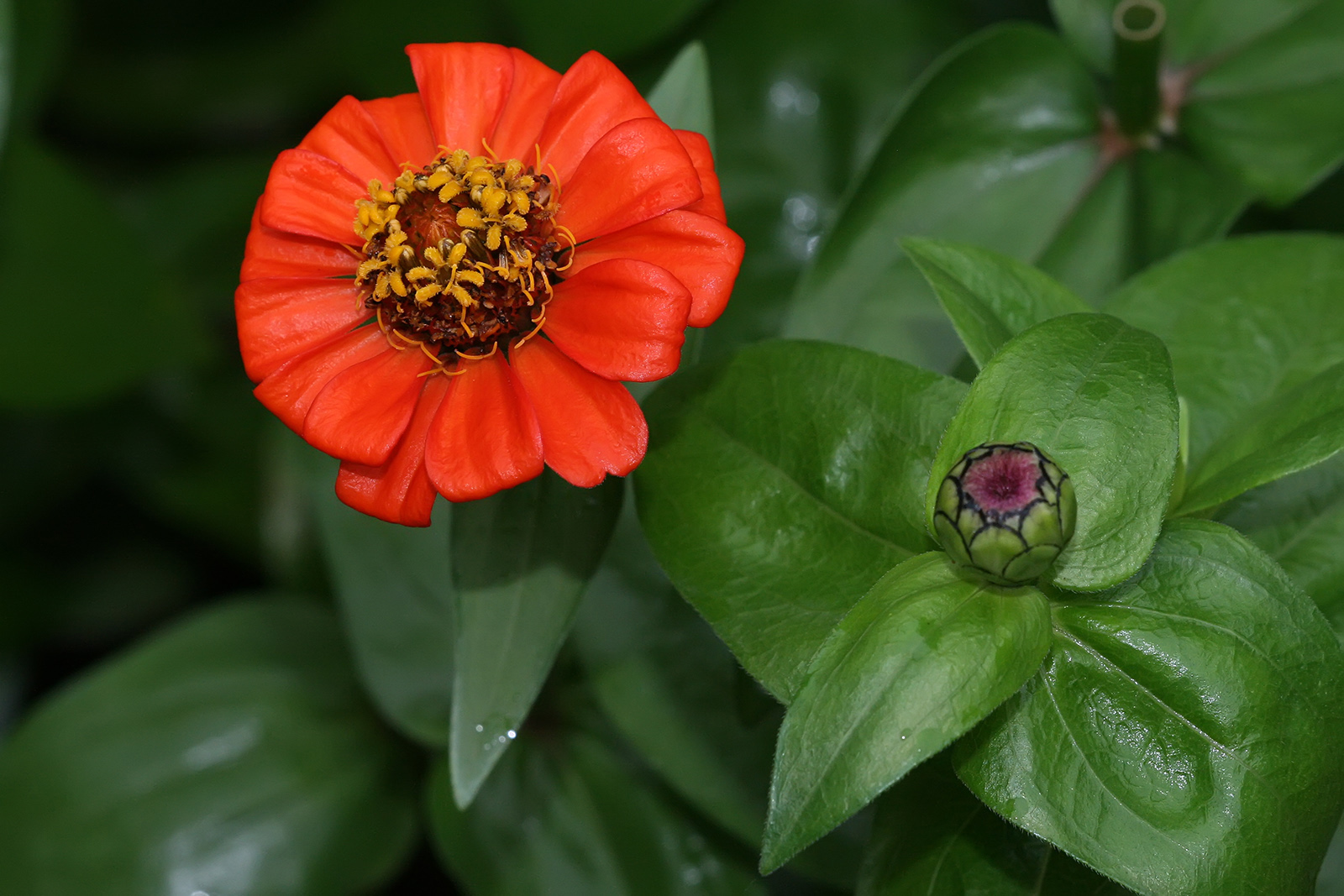 Flower Picture zinnia Picture