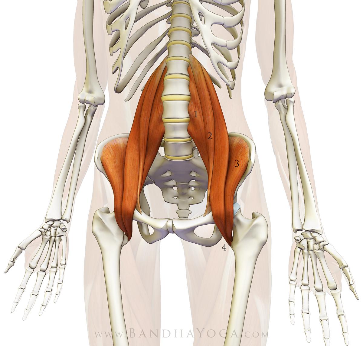 подвздошно поясничная мышца фото