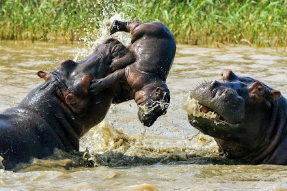 Kuda Nil Kanibal Terekam oleh Fotografer