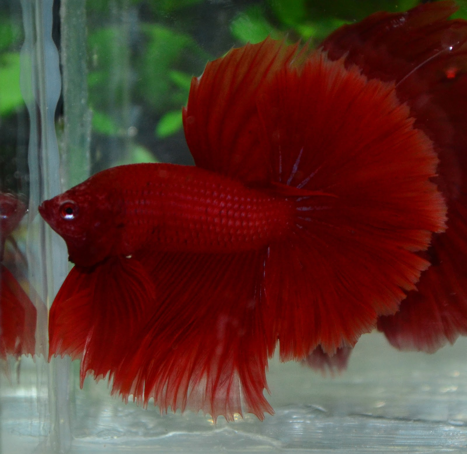 This page shows some of the types of Male Betta Fish for sale at our online retail Tropical Fish store Click here for more about buying pet