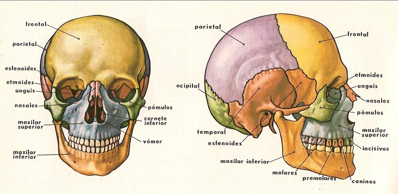 Aprendiendo con Angie Melissa Zapata Torres: El Esqueleto Humano
