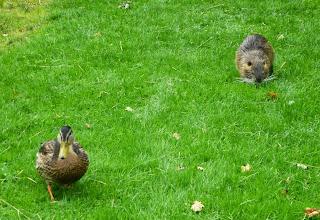 Ente und Nutria im Schlosspark Favorite