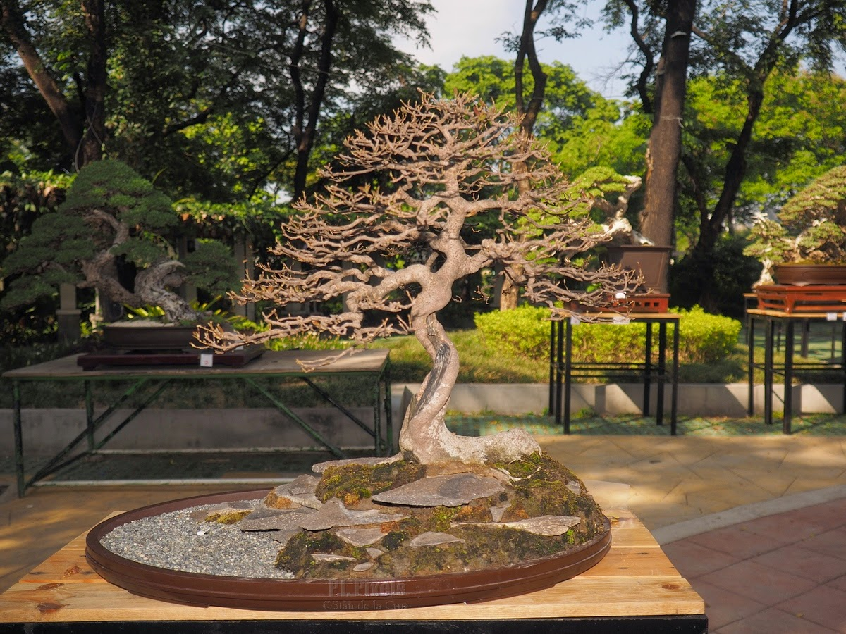 Philippine Bonsai Society 2015 Show And Competition Philippinewide