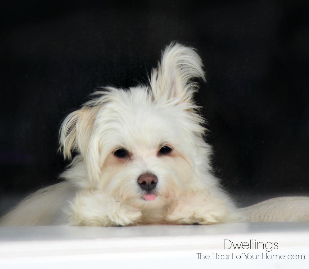 malti-pom puppy