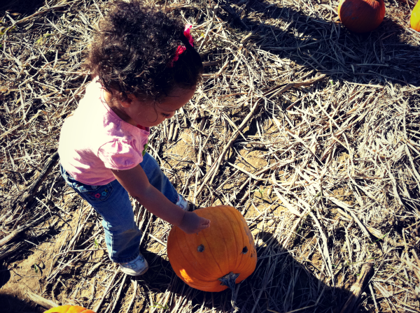 fall harvests pumpkin patch