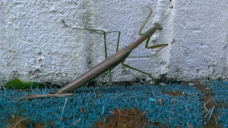 green preying mantis on wall