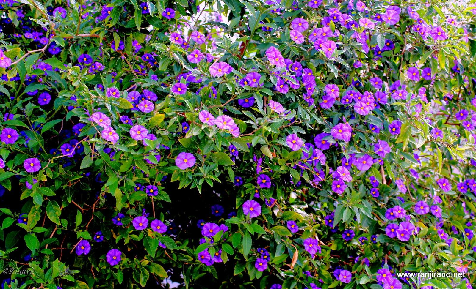 Subtiles fleurs mauves et la couleur violet paysages for Fleurs et fleurs