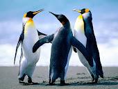 3 kiut penguin