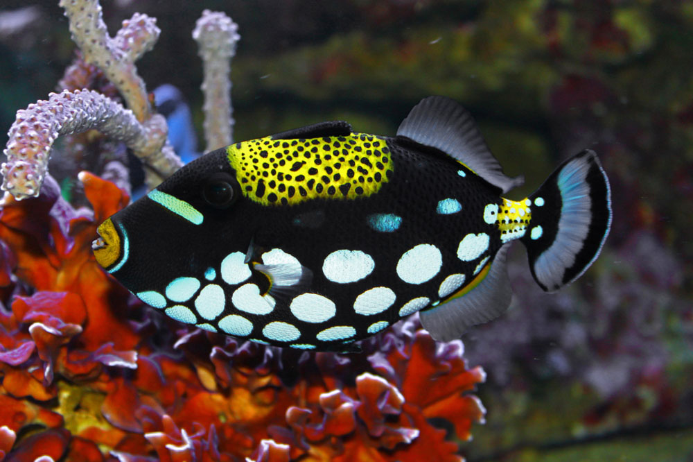 Life under the blue water clown triggerfish the most for Popular saltwater fish