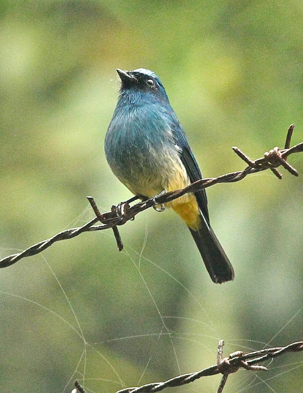 Indigo Flycatcher