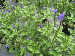 khasiat manfaat tanaman pecut kuda, jarong, daun sangketan